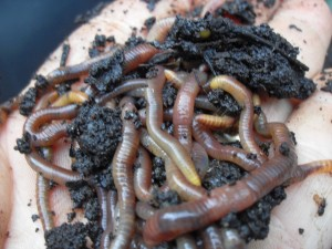 worms-vermicomposting-300x225